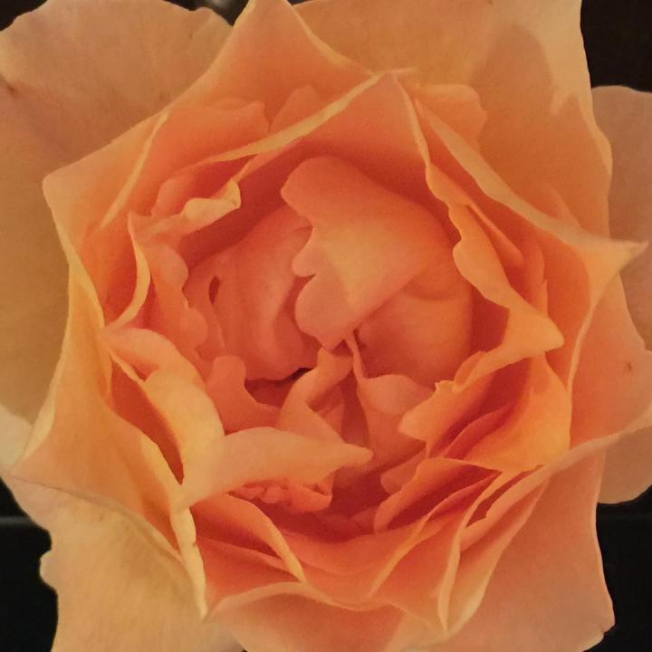 hexagon rose